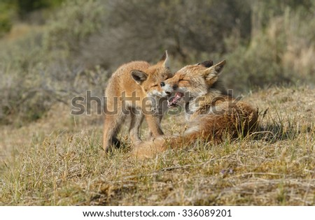 Cuddling moment between mother and cub red fox
