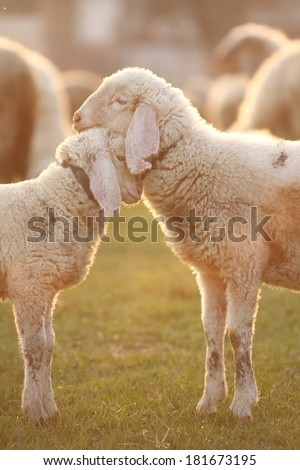 Cuddling time for two young lambs standing face to face in the gentle light of the golden hour. Portrait format - stock photo