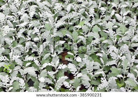 Cultivar annual Cineraria sp. seedlings in the modern greenhouse in spring - stock photo