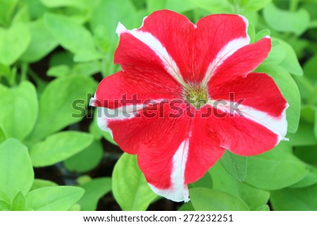Cultivar annual Petunia flower seedling in the modern greenhouse in spring - stock photo