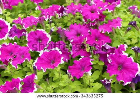 Cultivar annual Petunia flowers seedlings in the modern greenhouse in spring - stock photo