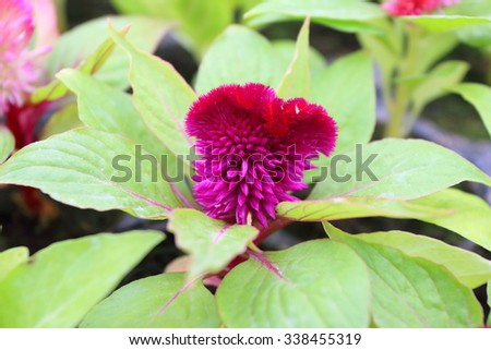 Cultivar annual woolflower (Celosia sp.) flower seedling in the modern greenhouse in spring - stock photo