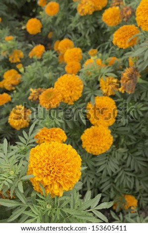 Cultivar of marigold called Moonsong Deep Orange (botanical name: Tagetes erecta) in garden, September in northern Illinois (foreground focus) - stock photo