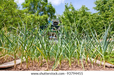cultivate of leek at back yard - stock photo