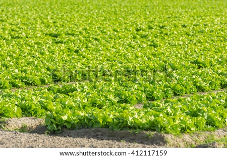 Cultivated field: fresh green salad bed rows. Shot with a selective focus - stock photo