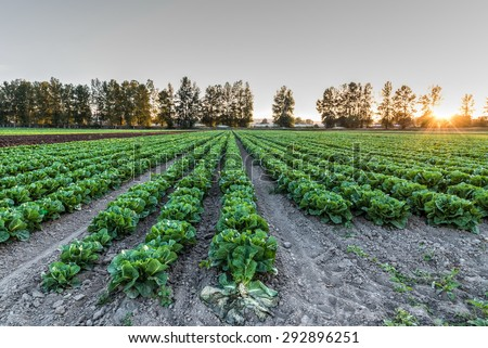 Cultivated field of lettuce growing in rows along the contour line in sunset at Kent, Washington State, USA. Agricultural composition. - stock photo