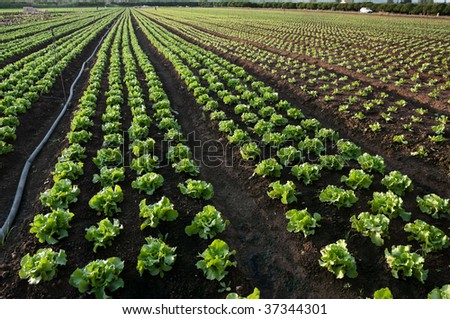 cultivated land to lettuce (horizontal - stock photo