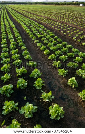 cultivated land to lettuce (vertical - stock photo