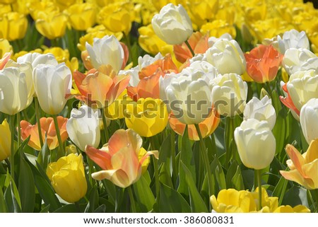 Cultivated of white and yellow tulips (Tulipa) - stock photo