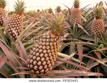 Cultivated pineapple plants (Ananas comosus) with ripe fruits - stock photo