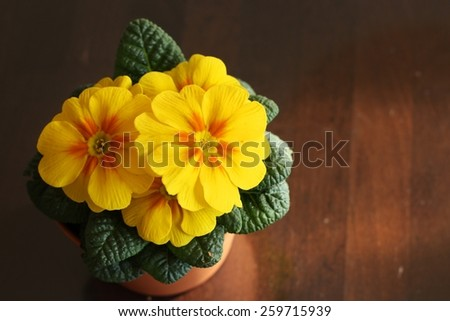 Cultivated primrose (Primula vulgaris), spring flower in spring warm sunshine colors on wooden table - stock photo