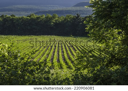 cultivated soybean plant field daytime  - stock photo