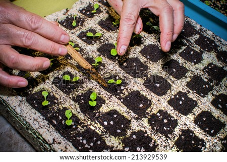 Cultivating Plant, Hands transplanting young plant. Chang Rai, Thailand - stock photo