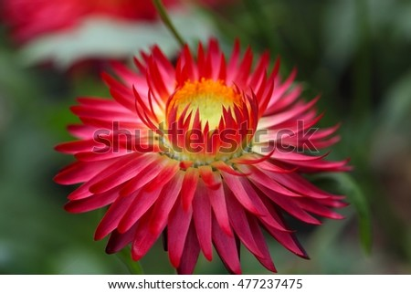 Cultivation form of the strawflower (Xerochrysum bracteatum)