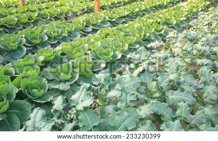 cultivation green vegetable in farm