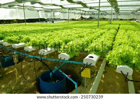 Cultivation hydroponic green vegetable in farm plant market ,Red oak, green oak, frillice iceberg  - stock photo