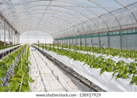 Cultivation of chili peppers in a greenhouse (the Netherlands) - stock photo