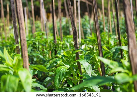 cultivation of endive  - stock photo