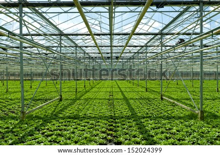 cultivation of endive in a commercial greenhouse in Klazienaveen, netherlands - stock photo