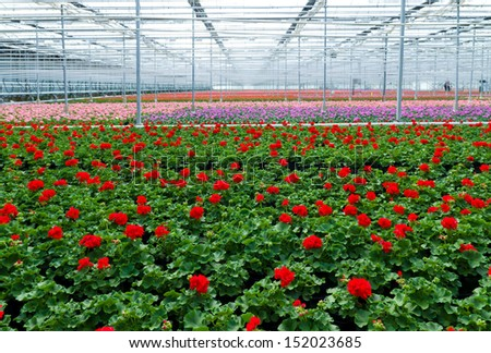 cultivation of geranium flowers in a greenhouse in Klazienaveen, netherlands - stock photo