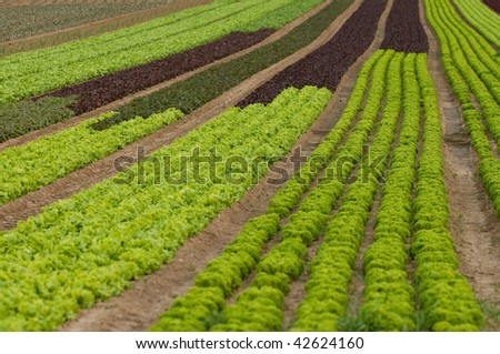 cultivation of lettuce in the fields in Germany