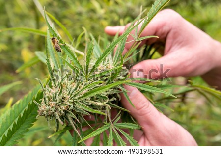 Cultivation of marijuana (Cannabis sativa), flowering cannabis plant as a legal medicinal drug, herb, ready to harvest