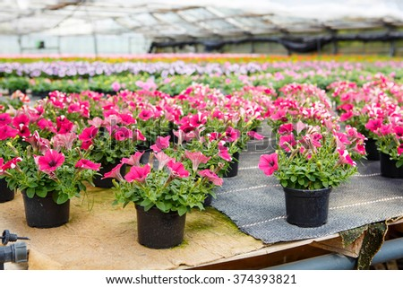 Cultivation of pink, purple, yellow different flowers and geraniums in greenhouse for ale. Spring flowers and gardening concept - stock photo