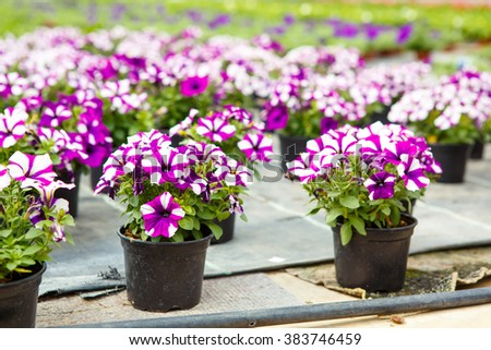 Cultivation of pink, purple, yellow different flowers and geraniums in greenhouse for ale. Spring flowers and gardening concept