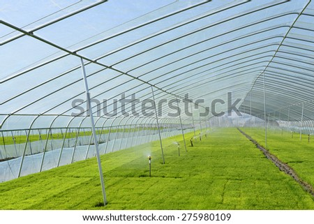 Cultivation of rice seedlings in greenhouses