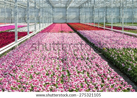 Cultivation of white and purple geraniums in a Dutch Greenhouse - stock photo