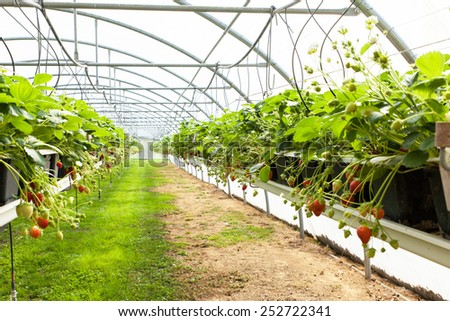 culture in a greenhouse strawberry and strawberries - stock photo