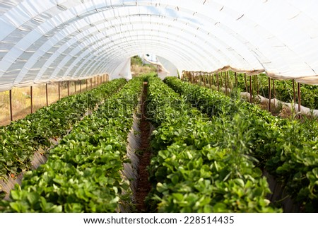 Culture in a greenhouse strawberry and strawberries in Greece - stock photo