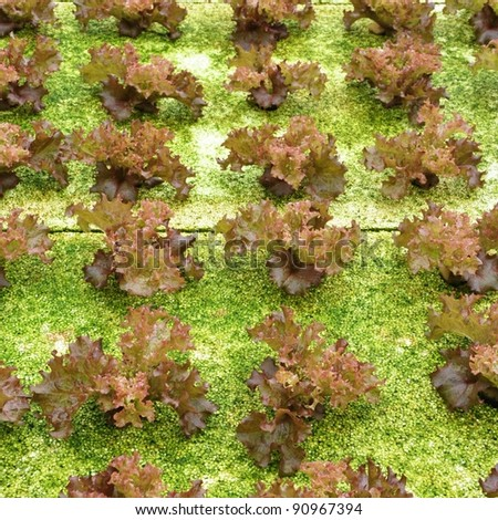 culture of hydrophonic vegetable - stock photo