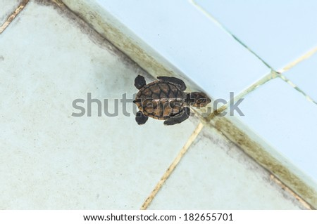 Cultured baby  sea turtle - stock photo