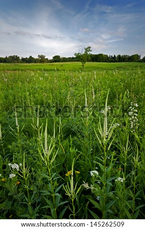 Culver's root, a prairie wildflower, blooms on Schulenberg Prairie at The Morton Arboretum in Lisle, Illinois. - stock photo