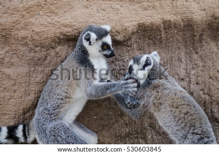 CUMIANA-TURIN, ITALY-AUGUST 12, 2014: Lemur puppies on ZOOM Bio park a new zoological park in Cumiana, Italy