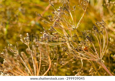 cumin plant grows in the garden
