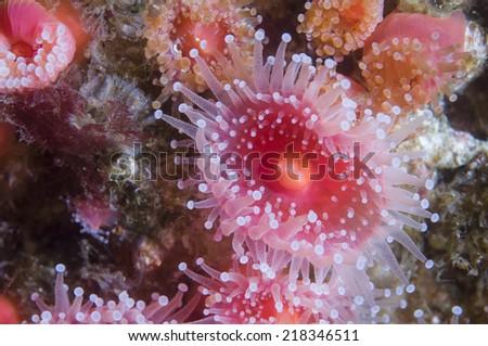 Cup coral off Anacapa Island, California - stock photo