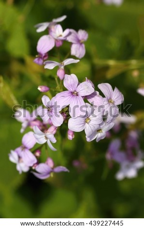 Curative Lunaria rediviva - stock photo