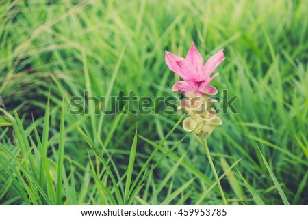 Curcuma aeruqinosa Roxb, Siam tulips blooming in the jungle at Thailand - stock photo