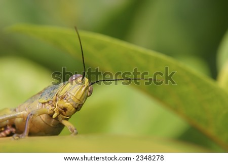 Curiosity - A grasshopper staring back from among the leaves. Shallow DOF with focus on its eyes. - stock photo