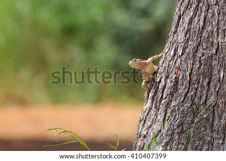 Curiosity agama lizard on the tree looking toward to photograph - stock photo