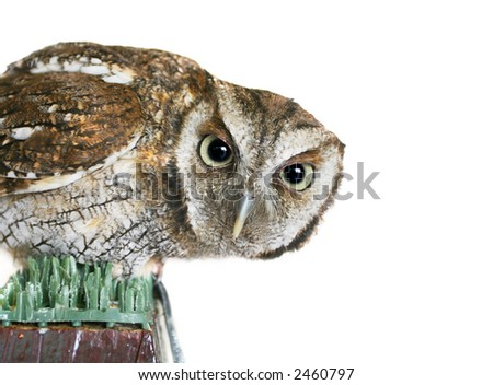 Curiosity and Wisdom of an Owl - stock photo