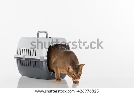 Curious Abyssinian cat going out of the box and sniff, tongue out. White background with reflection. - stock photo