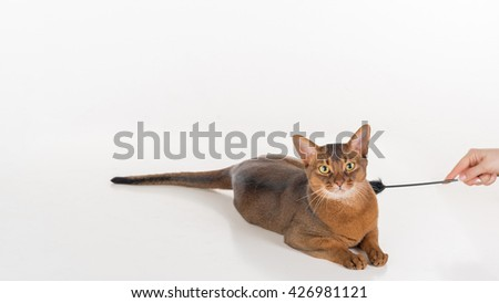 Curious Abyssinian cat lying on the ground. Woman hand with toy. White background with reflection. - stock photo