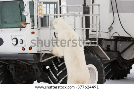 Curious adult polar bear sniffing around a tundra buggy.