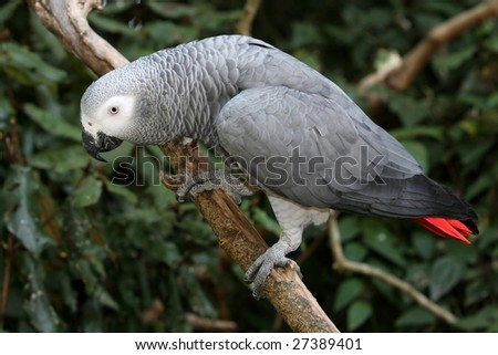 Curious African Grey Parrot perched on a branch - stock photo