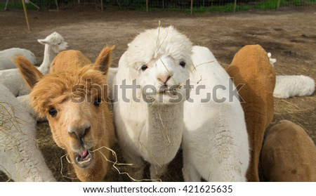 curious alpacas eating grass