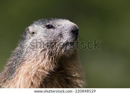 Curious Alpine marmot (Marmota marmota) looking - stock photo