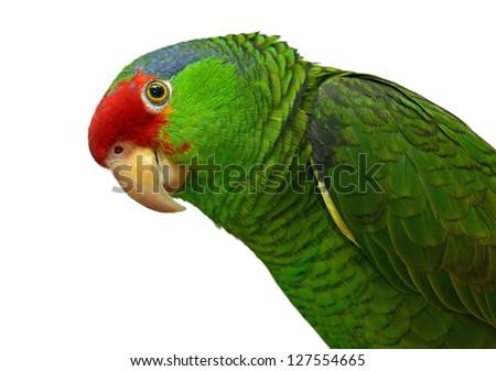Curious Amazon Parrot - stock photo